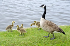 Family of Canada Geese by the River #2 Royalty Free Stock Photos