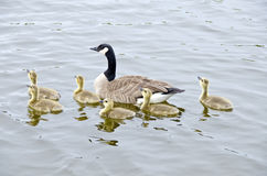 Family of Canada Geese in the River #2 Royalty Free Stock Photo