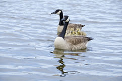 Family of Canada Geese in the River #5 Stock Image