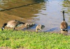 Family of Canada Geese Stock Photos