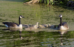Family of Canada Geese swimming together. Royalty Free Stock Photography