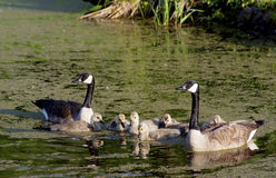 Family of Canada Geese swimming together. Royalty Free Stock Image