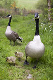 Family of Canada Geese. A family of wild Canada Geese in a natural setting, taken in vertical format. Parents with two week old chicks Stock Photos