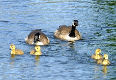 A family of canada geese with yellow fluffy goslings swimming in a blue lake stock image