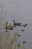 Family of Canadian Geese with Eight Goslings Stock Photo