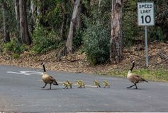 A Family of Canadian Geese in Laguna Niguel Regional Park stock photography