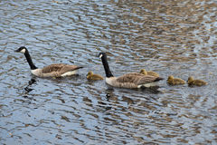 A family of Canadian geese on the lake. Finland Royalty Free Stock Photo