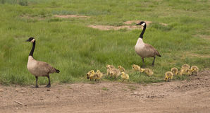 Family of Canadian Geese Out for a Stroll. Royalty Free Stock Image