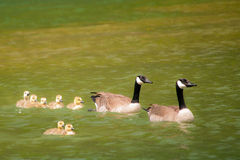 A Family of Canadian Geese, Residing in a Park Pond. A pair of Canadian Geese and their young, enjoying a swim on a sunny day. They have taken refuge in a park Royalty Free Stock Photo