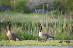 Family of Canadian Geese Royalty Free Stock Photography