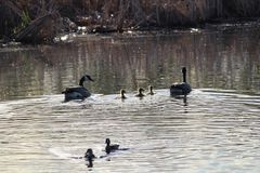 A family of Canadian geese swimming near other ducks Stock Image