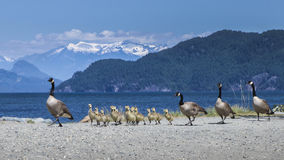 Family of Canadian Geese Royalty Free Stock Photo