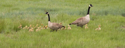 Family of Canadian Geese Walking in a Grassy Field Stock Images