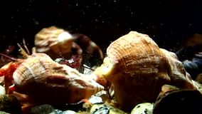 Family of cancer hermit crab underwater in search of food of White Sea.
