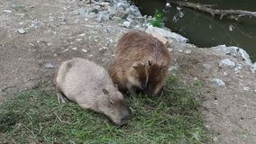 Three Capybaras eating the grass. Family of Capybaras eating the grass stock video footage