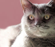 The Family Cat Royalty Free Stock Images