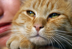 Family Cat. Orange tabby cat close up with little girls face behind him Royalty Free Stock Photos