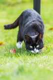Family Cat hunting Royalty Free Stock Photography