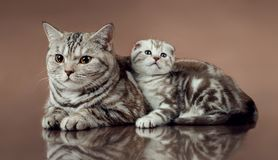 Family cat`s scottish fold Stock Photos