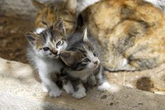 Family cats. Two little cats under the mother's eye Stock Photos