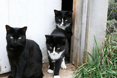 Family of cats in the doorway. A black and two black and white cats in the doorway stock photography