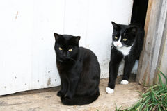 Family of cats in the doorway. A black and two black and white cats in the doorway royalty free stock images