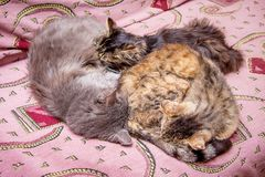 The family of cats sleep on the couch. Daddy, mom and baby on va. Cation stock image