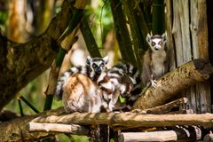 Catta lemurs family. A family of Catta lemurs is looking at the camera in Madagascar Stock Photo