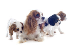 Family cavalier king charles Royalty Free Stock Image