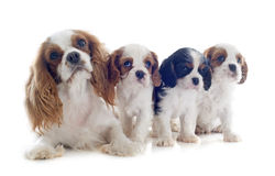 Family cavalier king charles Stock Photos