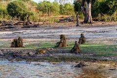 Family of Chacma Baboon. (Papio anubis), Chobe National Park in Botswana royalty free stock image