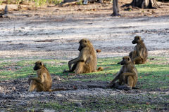 Family of Chacma Baboon. (Papio anubis), Chobe National Park in Botswana stock photography