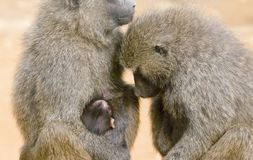 Family of Chacma Baboons royalty free stock photography