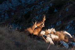 Family of chamois Stock Photography