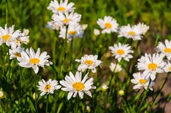 Family of chamomiles. Summer day the daisies in the field are good royalty free stock photos