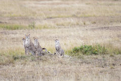 Family of cheetahs considering a victim in the African savanna Stock Photos