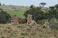 Family of Cheetahs. A happy family of cheetahs resting Royalty Free Stock Photo