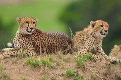 Family of Cheetahs. A happy family of cheetahs resting Stock Photos