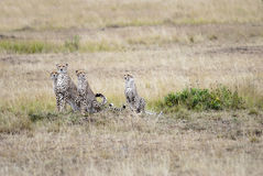 Family of cheetahs looking out for prey in the African savannah royalty free stock photography