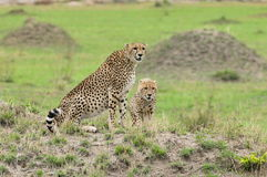 Family of Cheetahs Stock Images