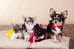 Family of chihuahua dogs on pillows in studio. Family of chihuahua dogs are wearing dresses and bows  lying down on pillows Royalty Free Stock Image