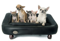 Family chihuahua Royalty Free Stock Image