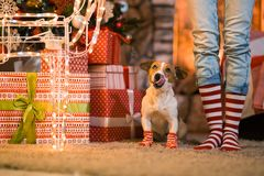 Family child legs and dog in striped red and white socks under t stock image