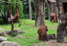 A family of chimpanzees. In a grassy field royalty free stock photography