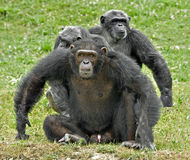 Family of chimpanzees Royalty Free Stock Images