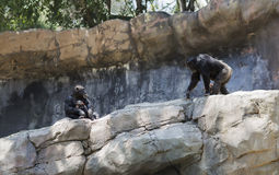 The family of chimpanzees in the wild. Stock Photography