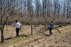 Family cleaning cut branches from orchard Stock Images