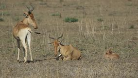 Family of Coke's Hartebeest resting on a hot day in a savannah stock video footage