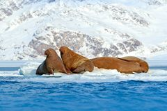Family on cold ice. Walrus, Odobenus rosmarus, stick out from blue water on white ice with snow, Svalbard, Norway. Mother with cub Stock Image