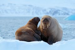 Family on cold ice. Walrus, Odobenus rosmarus, stick out from blue water on white ice with snow, Svalbard, Norway. Mother with cub Royalty Free Stock Photography
